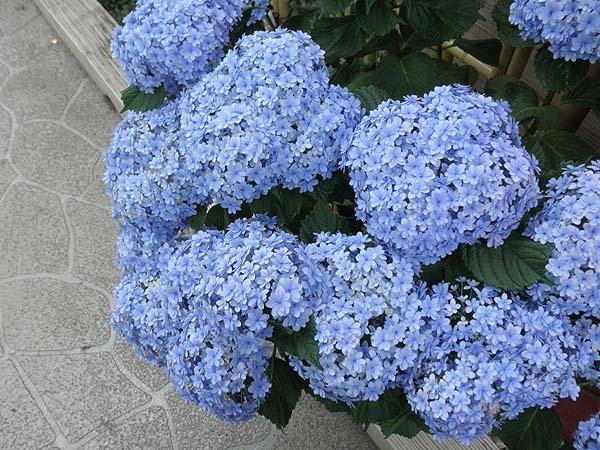 20110625紫陽花③