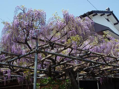 藤の花2011-1