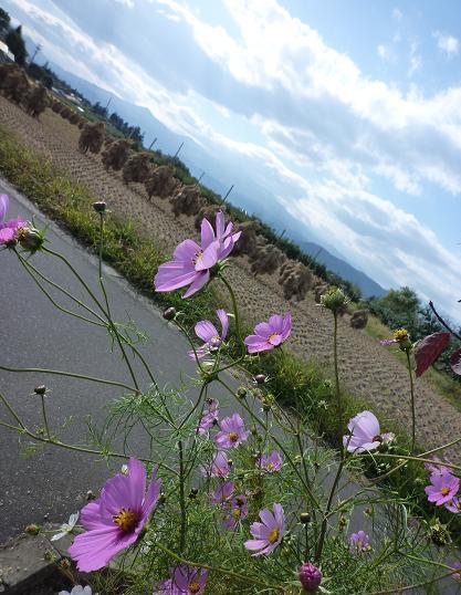 東北の景色(秋のコスモスと稲刈り)