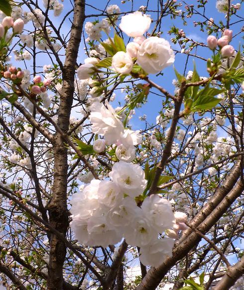 不忍池の桜・6(2010年4月)