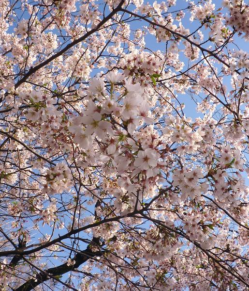 不忍池の桜・1(2010年4月)