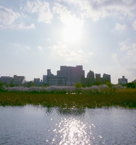 不忍池の対岸の桜並木(2010年4月上旬)