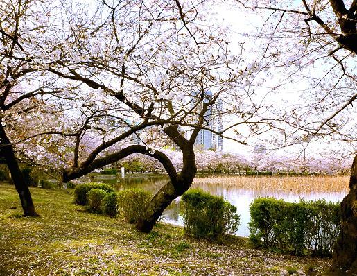 不忍池の桜をまたいだ桜並木(2010年4月上旬)
