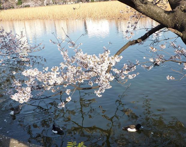 上野公園(20110405)-5