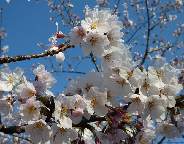 桜(上野・2011年4月5日)
