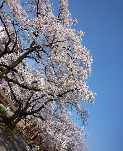 平和公園@青砥(20110406)9