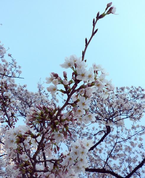 平和公園@青砥(20110406)8