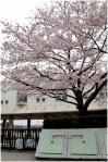 桜向陽台小