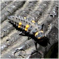 テントウ幼虫