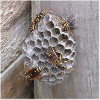 ハチの巣再起