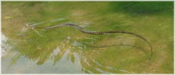 上谷戸泳ぐヘビ