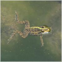 上谷戸池カエル