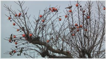 柿に集まる小鳥たち