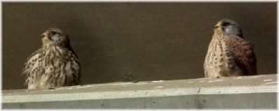 チョウゲンC110130H 004