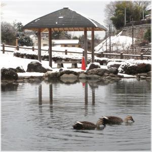 雪の日もここがいいカモ110212G 039