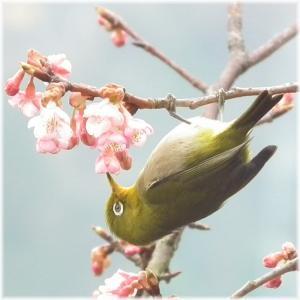 110220H 025桜メジロ
