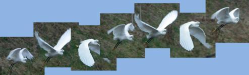 コサギ飛ぶ