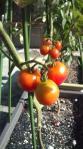2010806ミニトマト