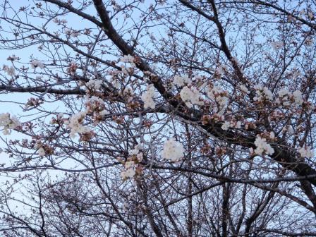桜前線Ⅳ-3