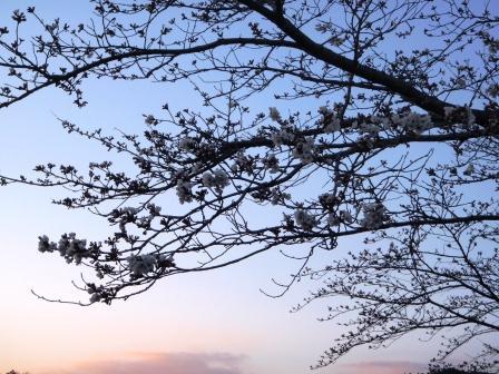 桜前線Ⅳ-2
