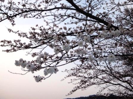 桜前線Ⅴ-4