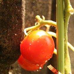 フルーツトマト1