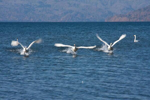 紅葉と白鳥 (屈斜路湖)