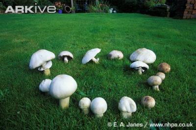 Field-mushroom-ring_convert_20100408031114.jpg