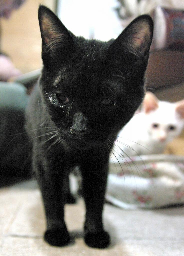 風邪の影響で瞳に膜が残ってしまった黒猫の男の子、「ルーくん」。 しかし、生活に支障はなく、普通に走り回ることができます^^