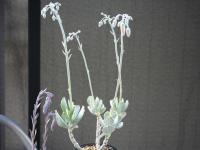 10Bb 銀波錦 蕾 植物全体_7