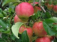 リンゴ つがる 090930_cIMG_3569