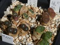 Ophthalmophyllum 脱皮 風鈴玉・小型ナミエセンセ・ハラモエ・白拍子 091010_img_0736