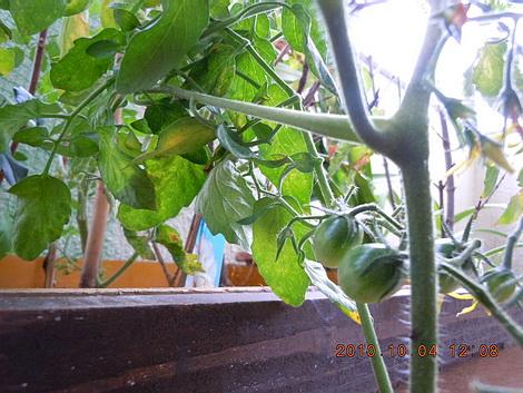 やっと実が付いたミニトマト