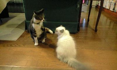 猫ボクシング1