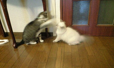猫ボクシング