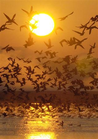 伊豆沼に多くのマガンが飛来
