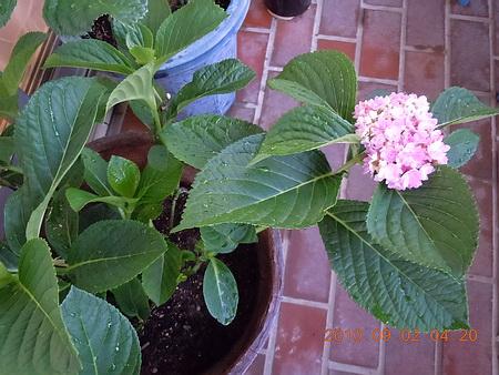 9月に再び咲いた紫陽花