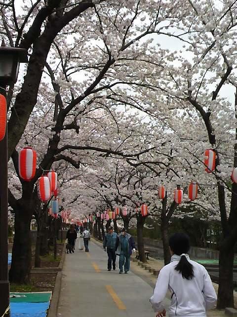 2仙台堀桜