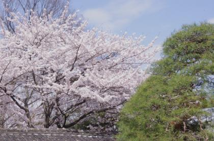 不動尊桜と松