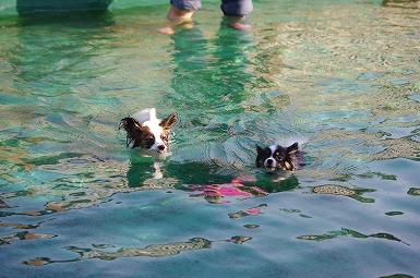 泳ぐほたみ8.29