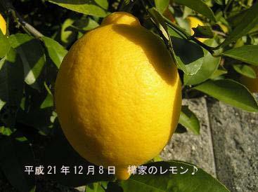 平成21年12月8日レモン♪