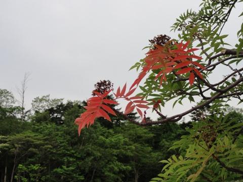 なぜか紅葉(2011.06.22)
