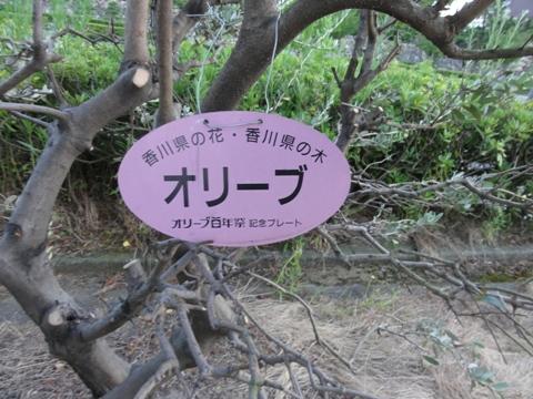 オリーブの木(2011.08.06)