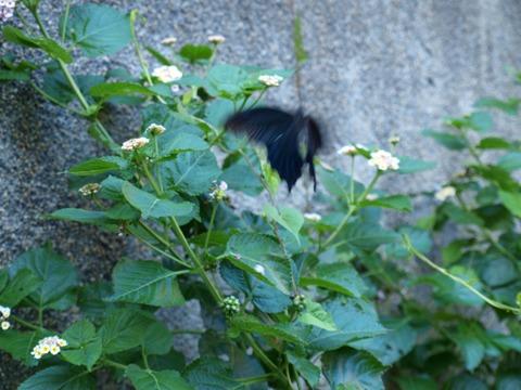 黒アゲハ02(2011.08.07)