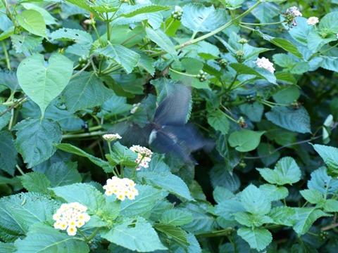 黒アゲハ03(2011.08.07)