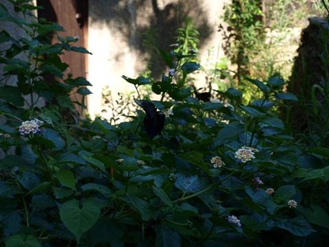 黒アゲハ01(2011.08.07)