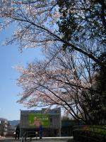 10桜04