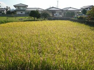 古代米田圃