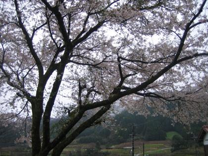 桜2010 家側から