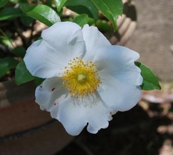 h22 1番めのバラ